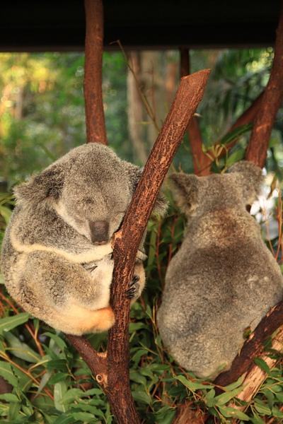 Koala_30.JPG