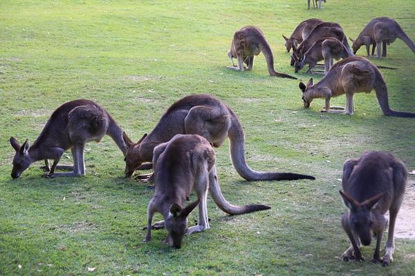 kangaroo_03.JPG