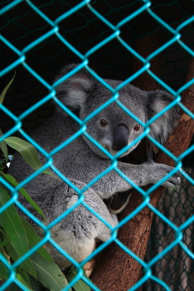 Koala_21.JPG
