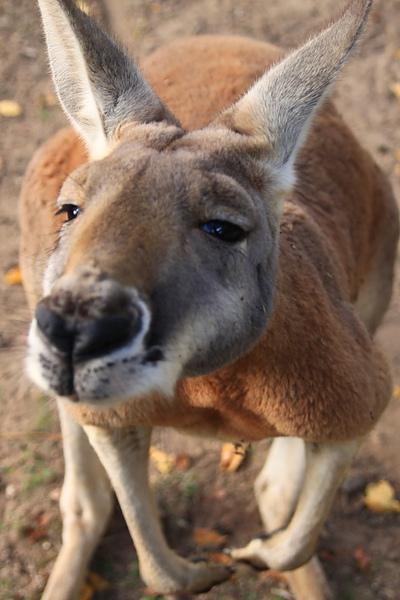 kangaroo_12.JPG