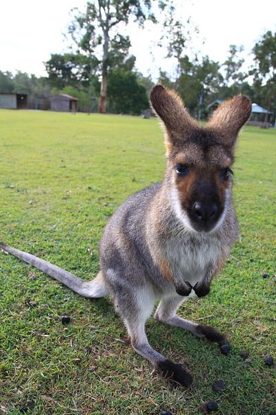 kangaroo_14.JPG
