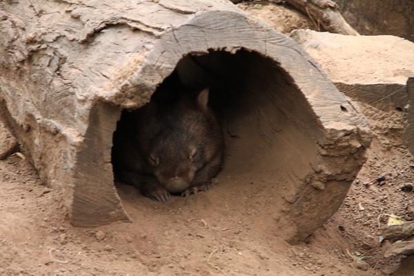 Wombat_07.JPG