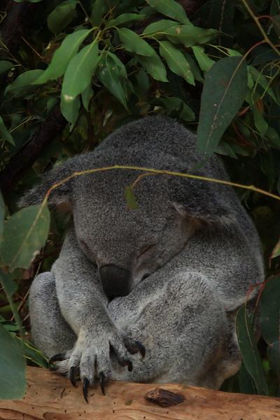 Koala_25.JPG