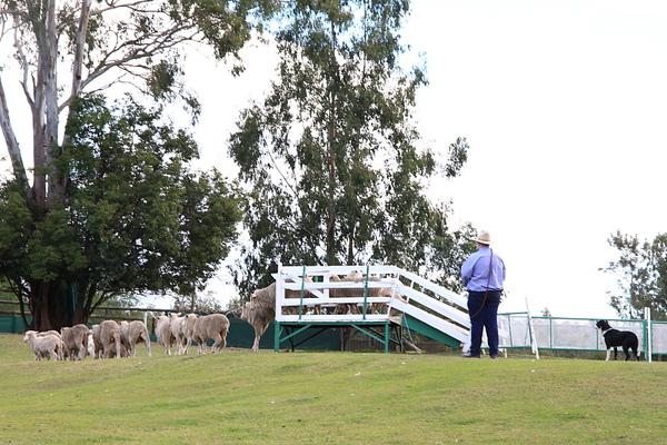 dog sheep show_05.JPG