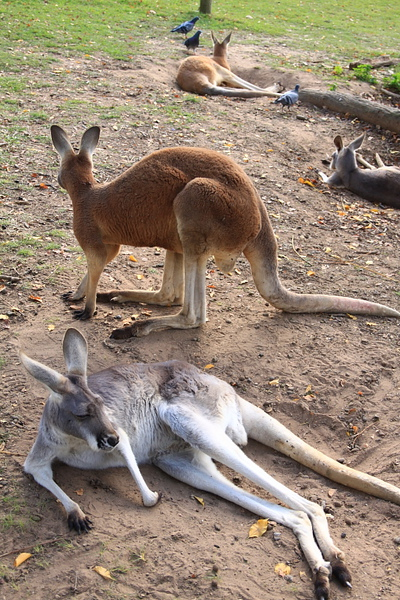 kangaroo_11.JPG