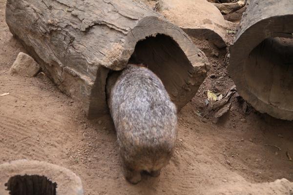 Wombat_03.JPG