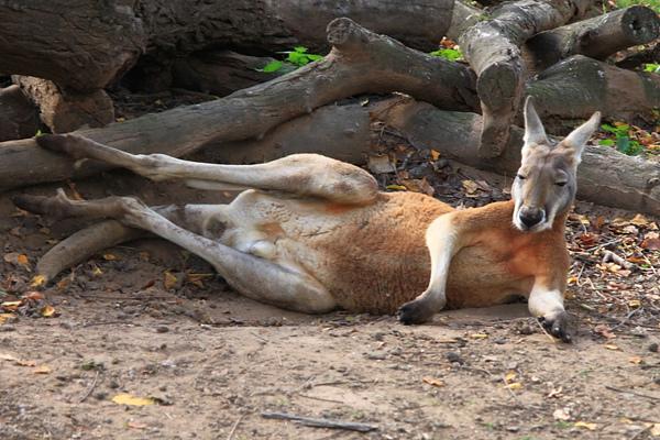 kangaroo_10.JPG
