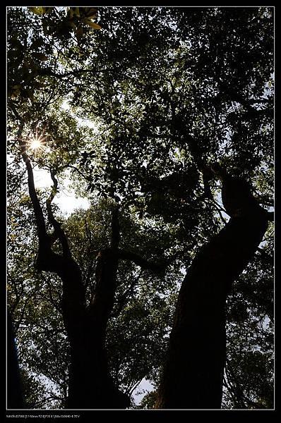 大樟樹.jpg