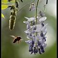 紫藤花1.jpg