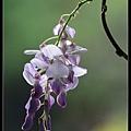 紫藤花2.jpg