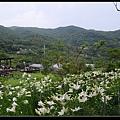 百合花田2.jpg