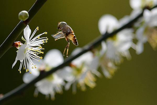 蜜蜂2.jpg