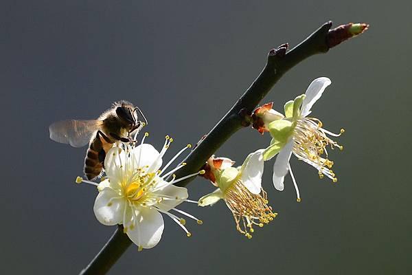 蜜蜂1.jpg