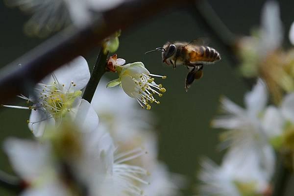 蜜蜂9.jpg