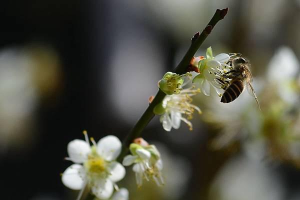 蜜蜂11.jpg