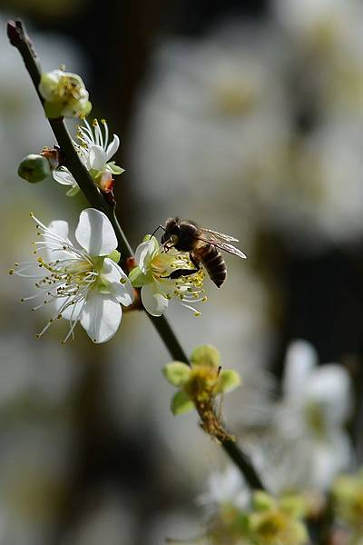 蜜蜂12.jpg