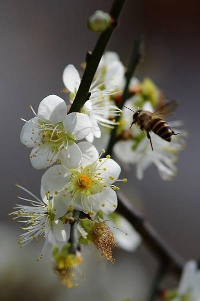 蜜蜂13.jpg