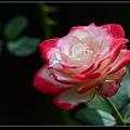 玫瑰花1.jpg