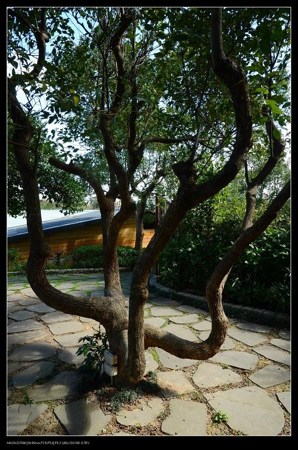 樟樹.jpg
