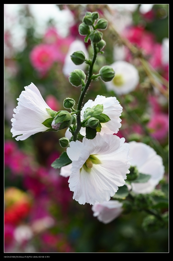 白色蜀葵.jpg