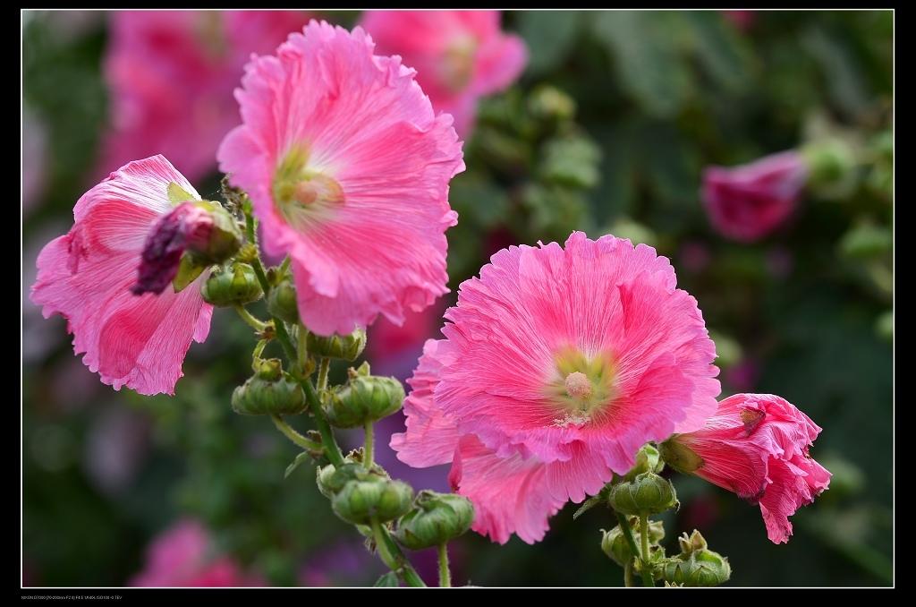 紅色蜀葵1.jpg