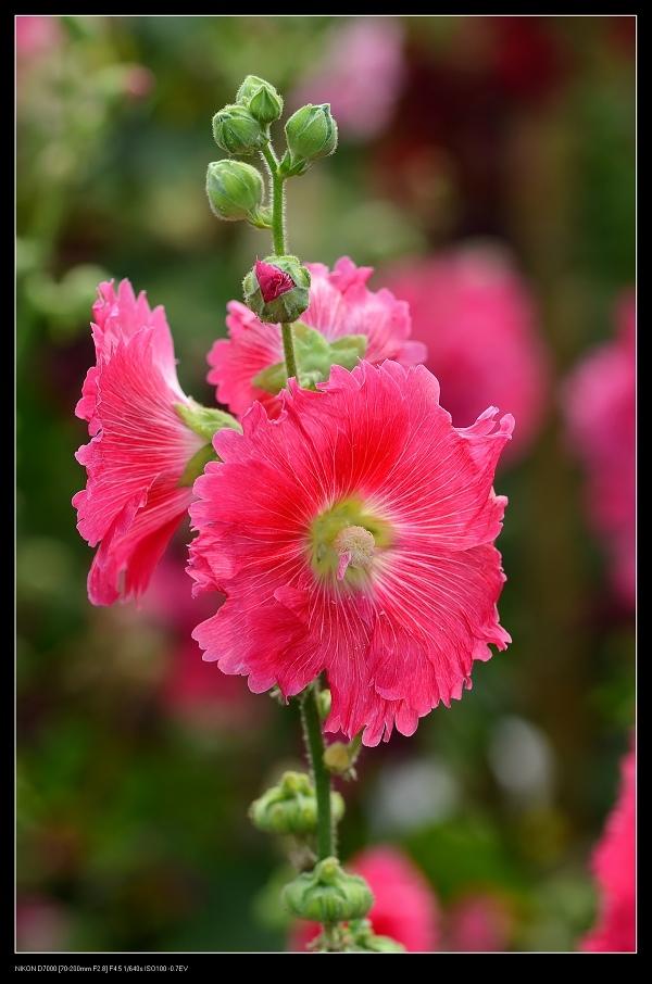 紅色蜀葵.jpg