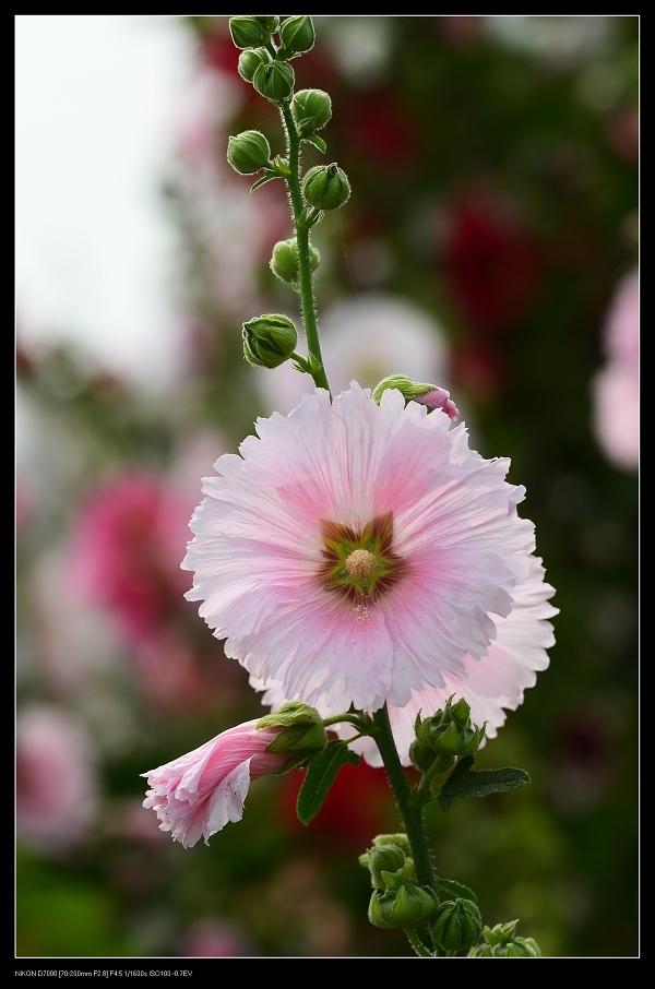 粉紅蜀葵2.jpg