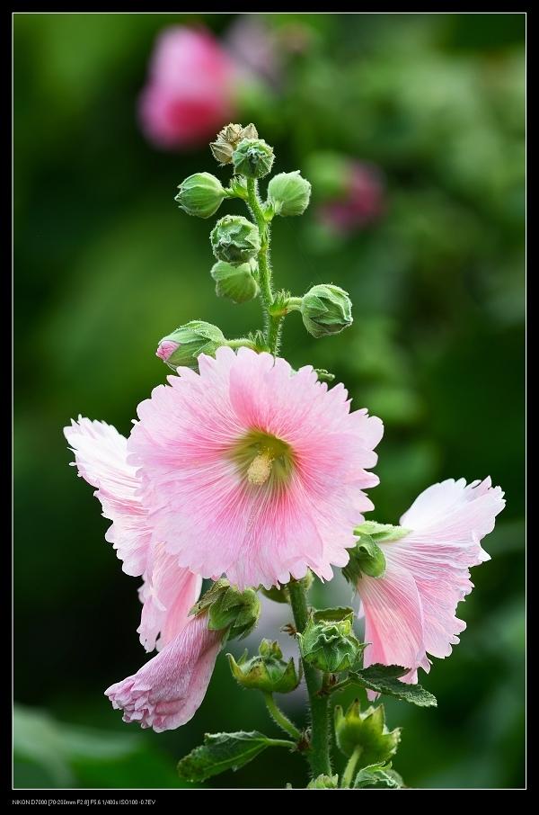 粉紅蜀葵3.jpg