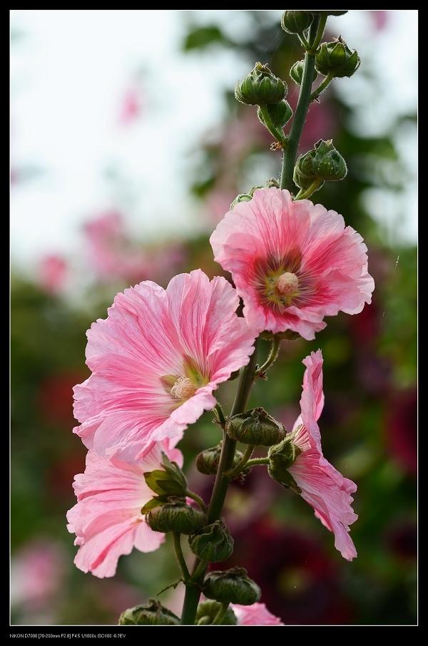 粉紅蜀葵4.jpg