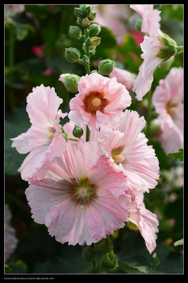 粉紅蜀葵8.jpg