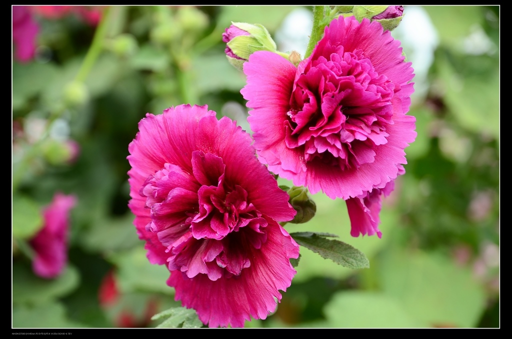 紫色蜀葵.jpg