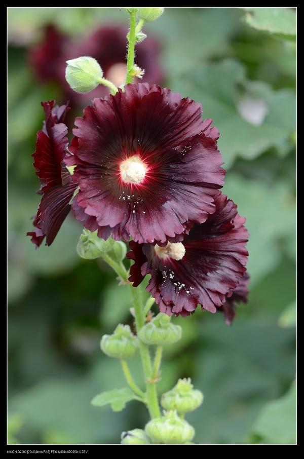 黑色蜀葵.jpg