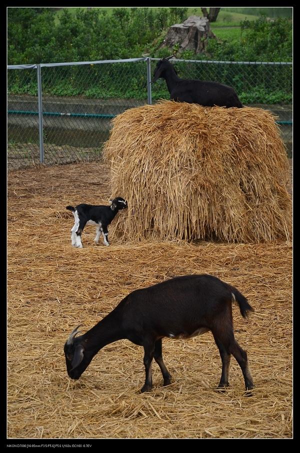 台灣山羊.jpg