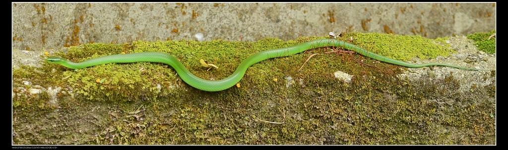 青蛇.jpg