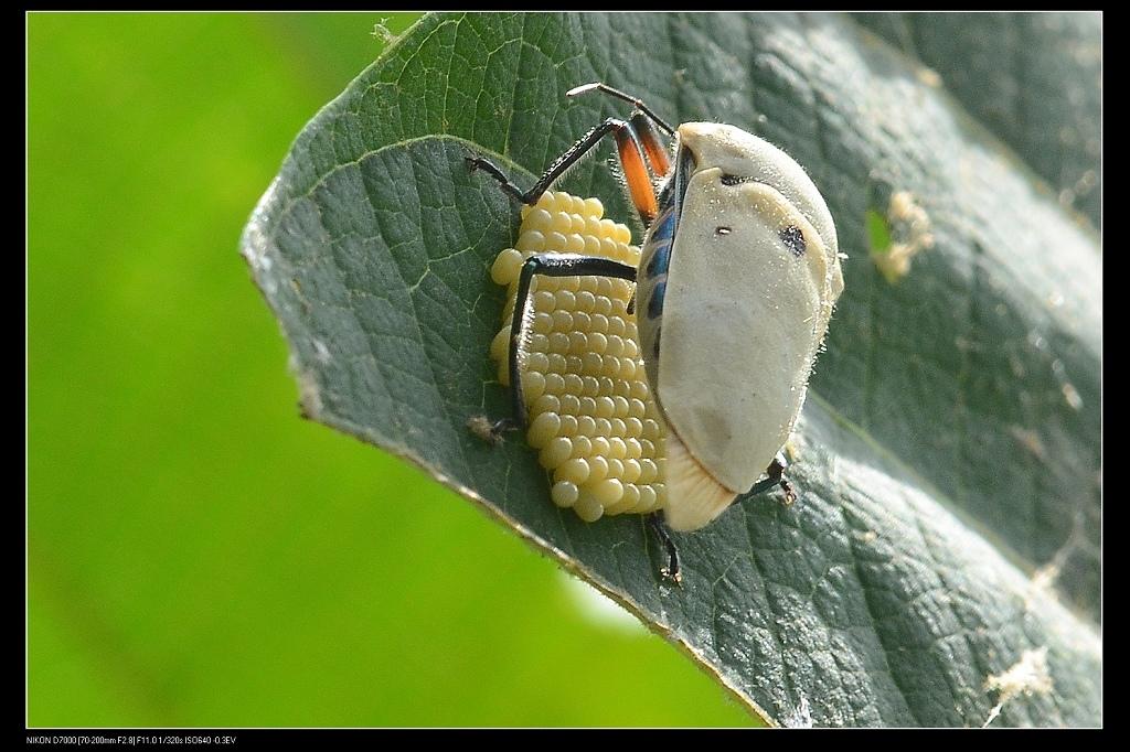 蟲卵.jpg