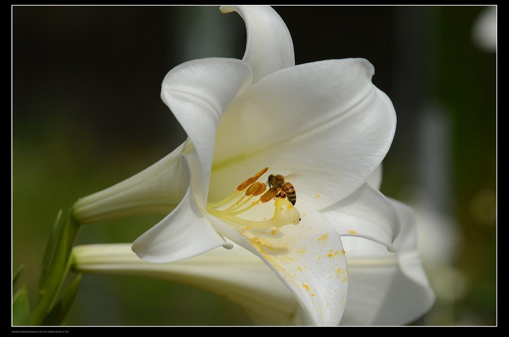 百合花蜜蜂3.jpg