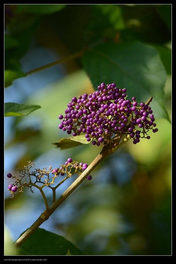 紫珠.jpg