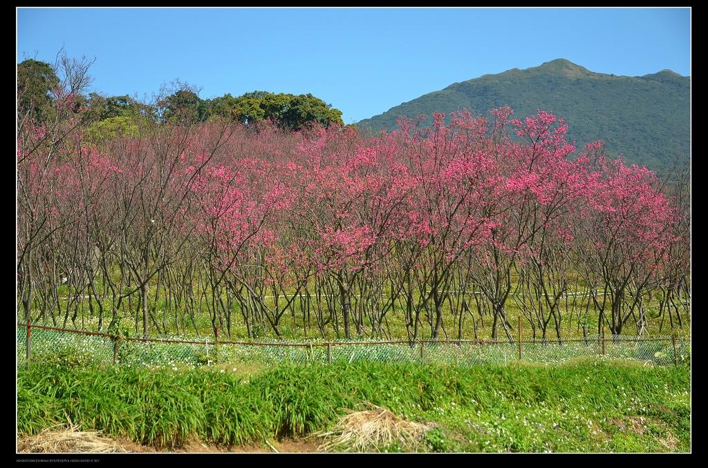櫻花林.jpg