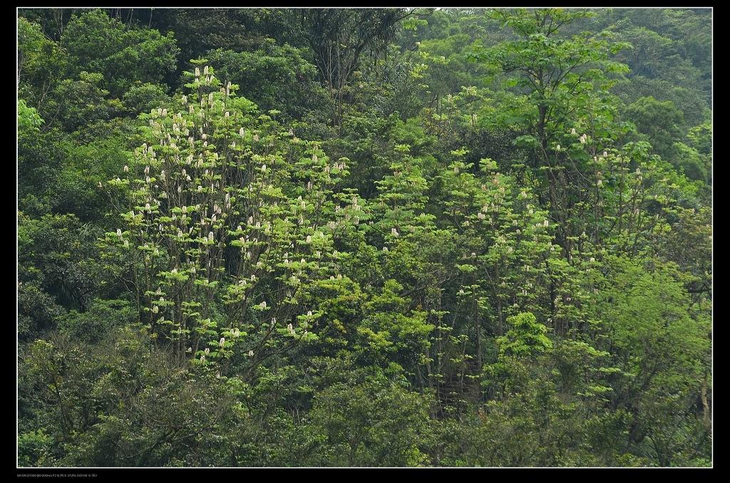 鐘萼木1.jpg
