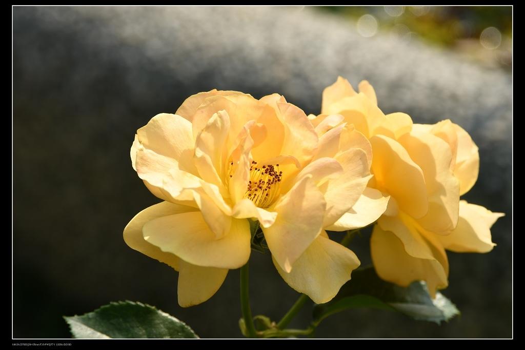 玫瑰0.jpg