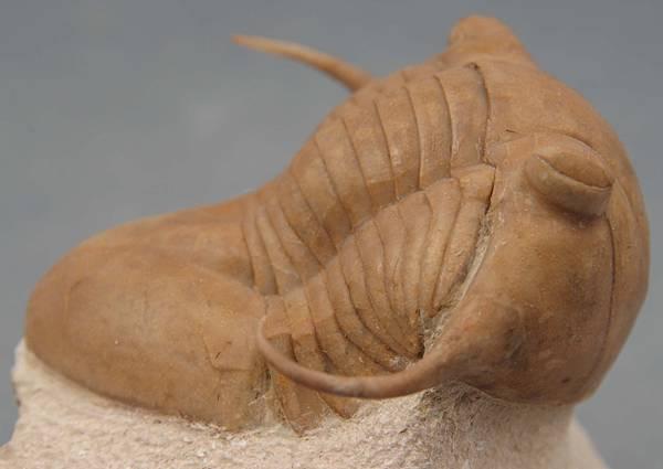 Illaenus tauricornis8