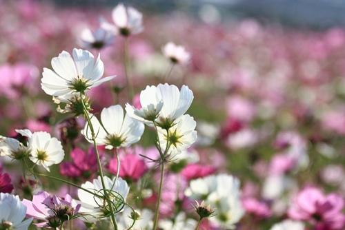 2015苗栗賞花季