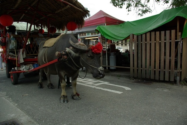 花蓮糖廠的水牛