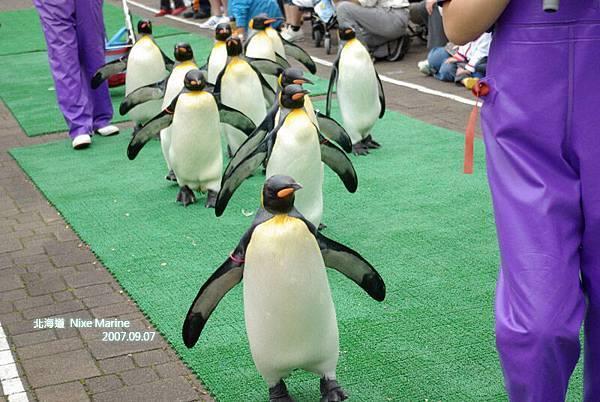 帝王企鵝出巡