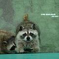 浣熊無辜眼神