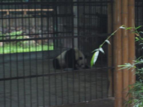 廣州動物園裡沒有精神的熊貓