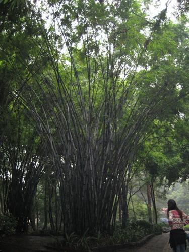 廣州動物園裡茂盛的竹林