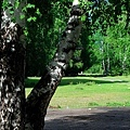 禾木乡小河边的白桦树.jpg