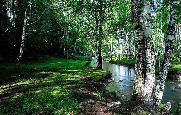 禾木乡小河边的白桦树2.jpg