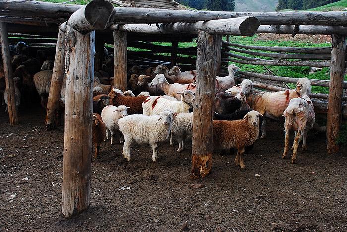 被剪掉毛的羊
